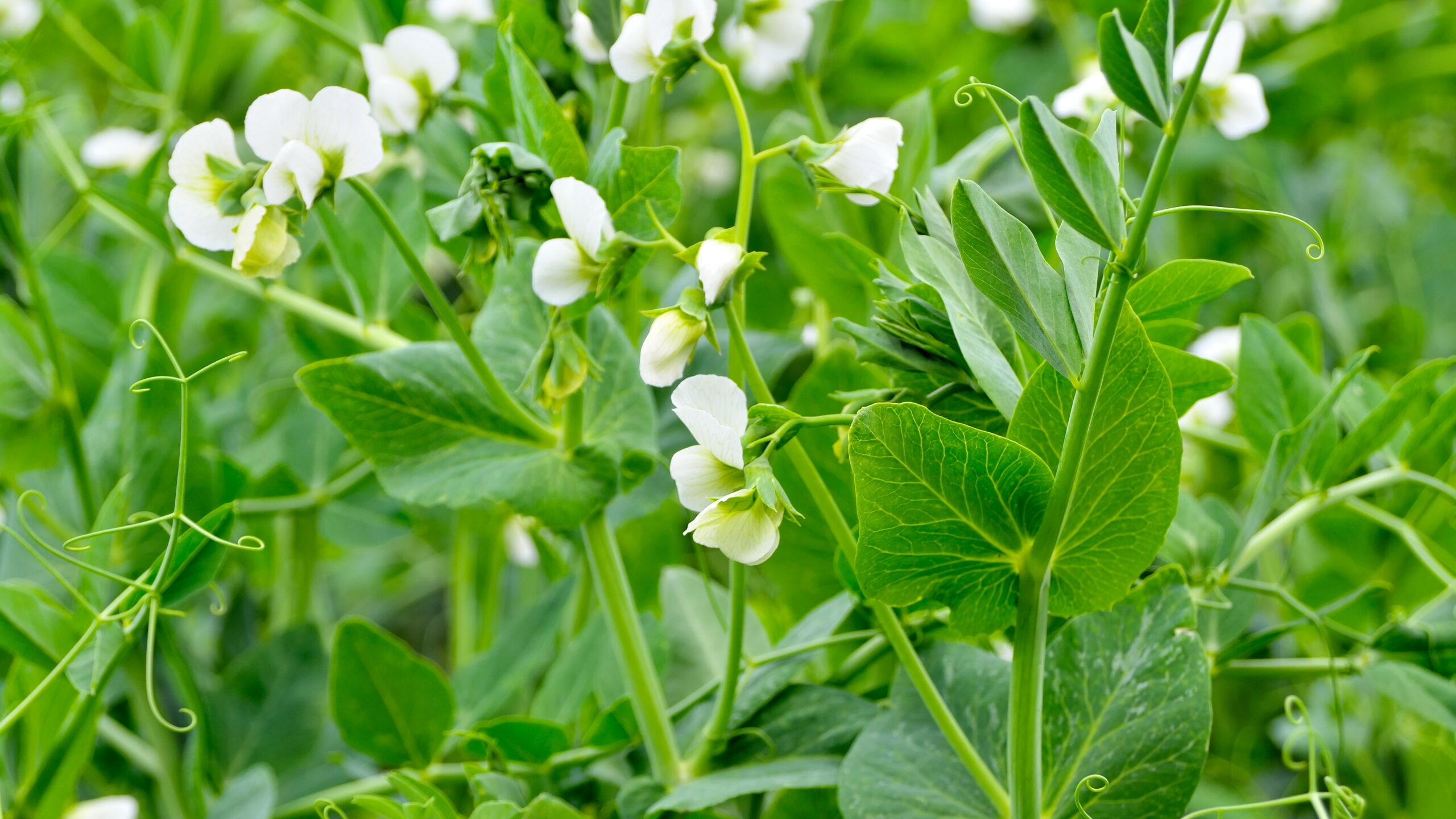 Young shoots and flowers in a field of peas.